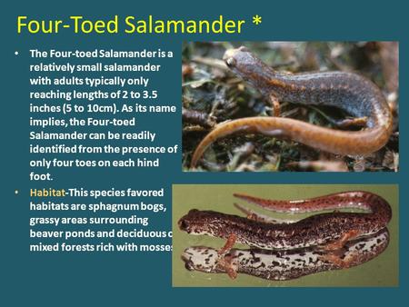 Four-Toed Salamander * The Four-toed Salamander is a relatively small salamander with adults typically only reaching lengths of 2 to 3.5 inches (5 to 10cm).