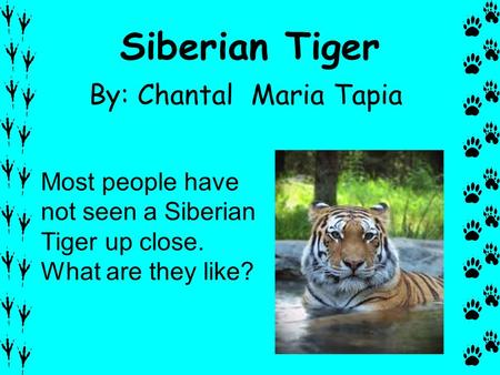 Siberian Tiger By: Chantal Maria Tapia Most people have not seen a Siberian Tiger up close. What are they like?