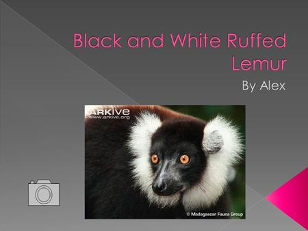  The Ruffed Lemur lives in the humid rainforests of Eastern Madagascar  The Black and White Ruffed Lemur has a black and white coat also known as a.