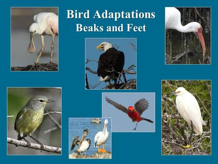 Bird Adaptations Beaks and Feet. Birds have different kinds of beaks because they eat different things Which has the best for catching and eating bugs?