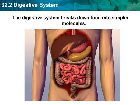 The digestive system breaks down food into simpler molecules.