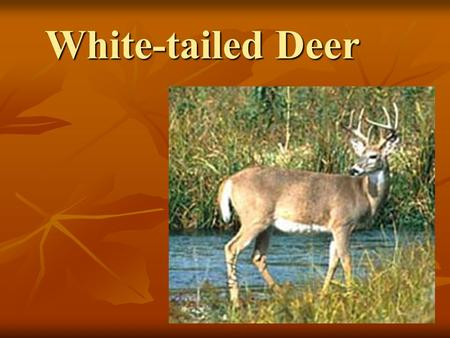 White-tailed Deer. Classification Classification Characteristics Characteristics Antlers Antlers Social Organization Social Organization Reproduction.