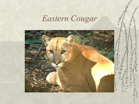 Eastern Cougar  Additional Names –Puma –Mountain lion –Catamount –Panther.