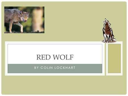 BY COLIN LOCKHART RED WOLF. STRUCTURAL ADAPTATIONS One adaptation of the Red Wolf is their guide hairs. This is important because it helps the Red Wolf.