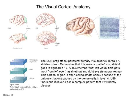 The Visual Cortex: Anatomy