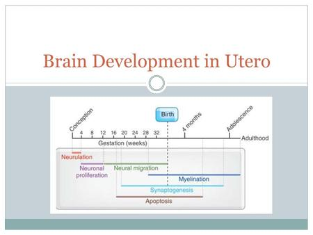 Brain Development in Utero. Neurulation Formation of the beginnings of the spinal cord and brain. Begins with formation of neural plate. Neural tube begins.