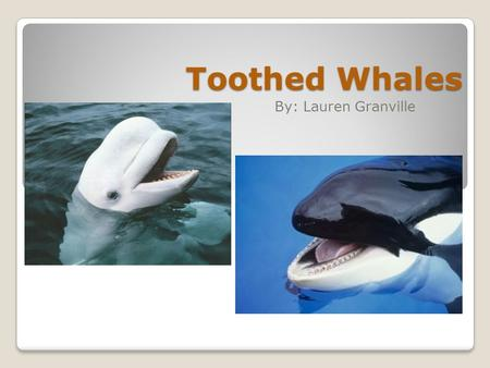 Toothed Whales By: Lauren Granville. There are around 70 different species of Toothed Whales. Some Toothed Whales are: Sperm whale, Bottlenose dolphin,