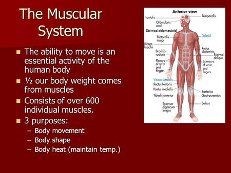 The Muscular System The ability to move is an essential activity of the human body The ability to move is an essential activity of the human body ½ our.