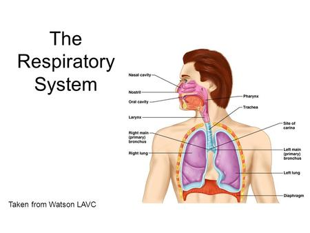 The Respiratory System Taken from Watson LAVC. 2 Respiration Includes  Pulmonary ventilation  Air moves in and out of lungs  Continuous replacement.