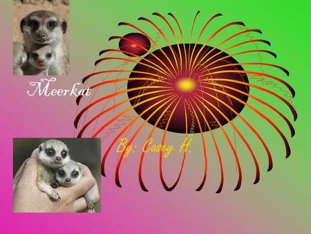 Meerkat By: Casey H.. Physical Characteristics They are 20 inches or 51 centimeter The meerkats weighs at least 2 pounds The meerkat has a long brown.