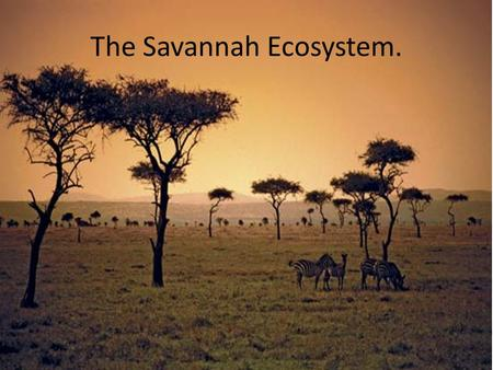 The Savannah Ecosystem.. Climate The savannah climate is always either warm or hot. Thunder and lightning storms usually start near the end of the dry.