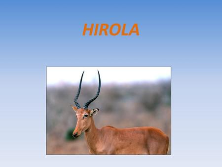HIROLA. HIROLA (Beatragus hunter) NATURAL HABITAT EAST AFRICA They live in the desert scrub and grasslands where they form harems led by a dominant territorial.