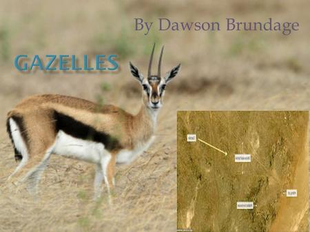 By Dawson Brundage There are lots of foods that gazelles eat. First, they eat shrubs, buds, and shoots of trees. Second, the adult gazelles only drink.