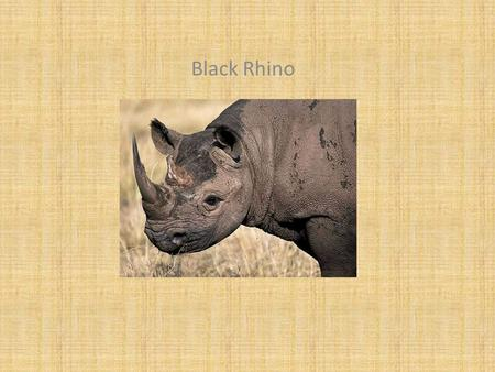 Black Rhino. Classification and Description Diceros bicornis Mammal Gray, 1,795 pounds, 60 inches. tall, 120 inches long Same.