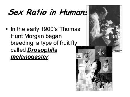 Sex Ratio in Humans: In the early 1900's Thomas Hunt Morgan began breeding a type of fruit fly called Drosophila melanogaster.