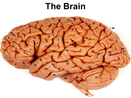 The Brain. Regions of the Brain Hindbrain: medulla pons reticular formation cerebellum.