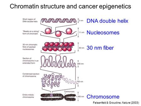 DNA double helix Nucleosomes Chromosome Felsenfeld & Groudine, Nature (2003) Chromatin structure and cancer epigenetics 30 nm fiber.
