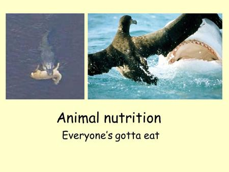Animal nutrition Everyone's gotta eat The big picture Autotrophy vs. heterotrophy Why do we need food? –Use as fuel for cellular work –Form important.