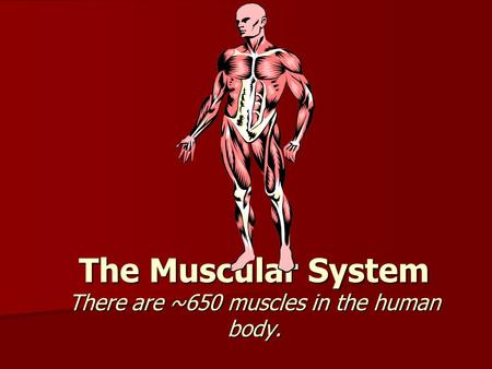 The Muscular System There are ~650 muscles in the human body.