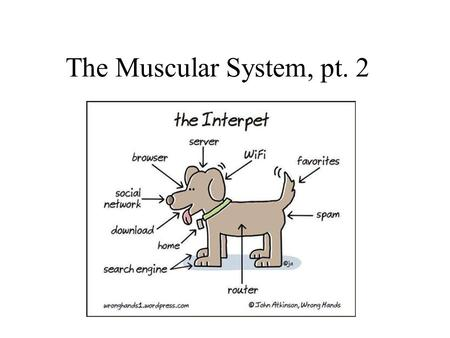 The Muscular System, pt. 2. A muscle depends on other muscles to assist in movement. For this reason muscles are called prime movers, antagonists or synergysts.