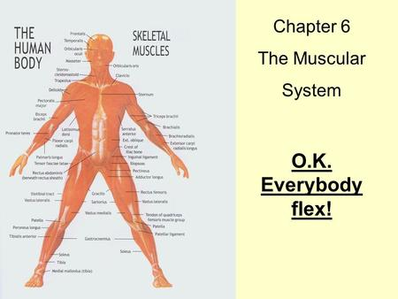Chapter 6 The Muscular System O.K. Everybody flex!