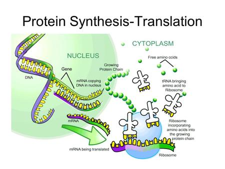 Protein Synthesis: Ch 17 From : Kevin Brown – University ...