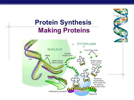 Protein Synthesis Making Proteins  Bodies are made up of cells  All cells run on a set of instructions spelled out in DNA Bodies  Cells  DNA.