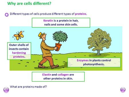 Why are cells different? Different types of cells produce different types of proteins. Enzymes in plants control photosynthesis. Keratin is a protein in.