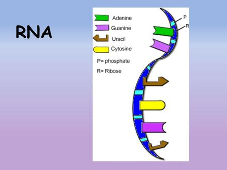 RNA. ________ are coded DNA instructions that control the ___________ of proteins. Genetic ______________ can be decoded by copying part of the ___________.