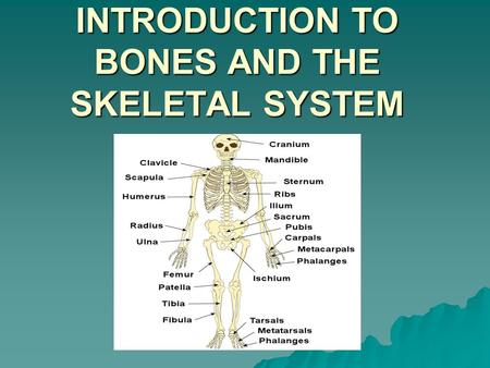 LESSON 5 – INTRODUCTION TO BONES AND THE SKELETAL SYSTEM.