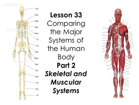 Lesson 33 Comparing the Major Systems of the Human Body Part 2 Skeletal and Muscular Systems.