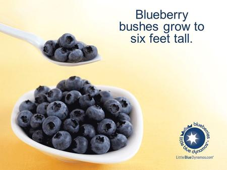 Blueberry bushes grow to six feet tall.. A single blueberry bush can produce as many as 6,000 blueberries a year.