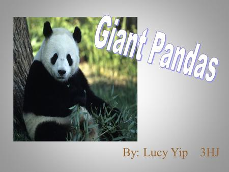 By: Lucy Yip 3HJ. Introduction I want to know more about giant pandas because giant pandas are cute and they are the icon of China. I like to know why.