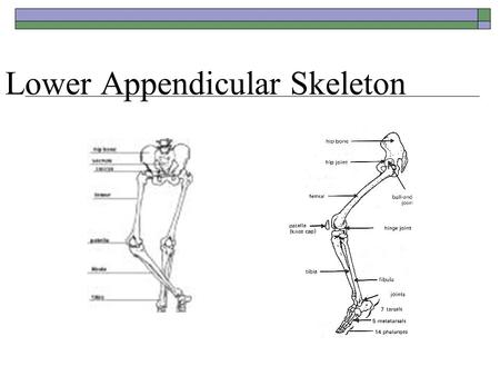 Lower Appendicular Skeleton. Pelvic Girdle  Formed by two ossa coxa (hipbones) and united anteriorly by the symphsis pubis.  The pelvic Girdle supports.