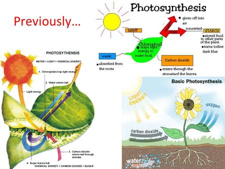 Previously…. Photosynthesis is… The process by which plants use carbon dioxide, water and light trapped by chlorophyll to make food in the form of glucose,