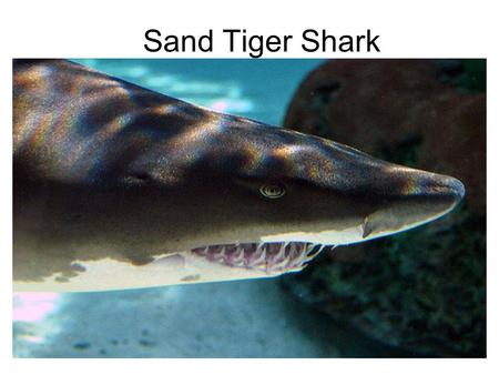 Sand Tiger Shark. Shark Vocabulary Sand Tiger Shark- also known as the gray nurse shark. Tropical waters- warm, clear water along sandy coastal waterways.