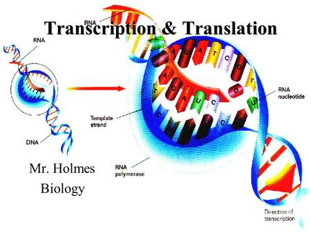 Transcription & Translation Mr. Holmes Biology. Questions to be answered about transcription: (Be sure to leave space after each question) 1.What is transcription?