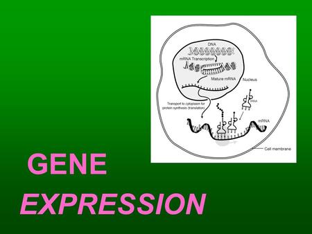 GENE EXPRESSION. What is DNA Replication? DNA Replication – the process of creating copies of DNA molecules Why is DNA Repliction SEMI CONSERVATIVE? –DNA.