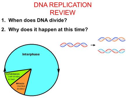 Section 11.1 Summary – pages 281 - 287 DNA REPLICATION REVIEW 1. When does DNA divide? 2. Why does it happen at this time?