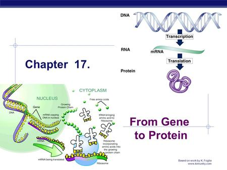 MCC BP Based on work by K. Foglia www.kimunity.com Chapter 17. From Gene to Protein.