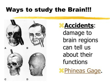 Ways to study the Brain!!! Accidents: damage to brain regions can tell us about their functions Phineas Gage.