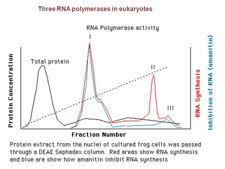 Three RNA polymerases in eukaryotes. RNA polymerase III Hundreds of promoters - 40% of a cell transcriptional activity -Moderately sensitive to  -amanitin.