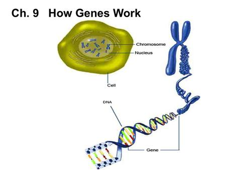 Ch. 9 How Genes Work. Ch. 9-1 Understanding DNA How Scientists Identified the Genetic Material Scientists knew that chromosomes were involved in the transmission.