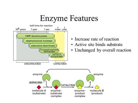 Enzyme Features Increase rate of reaction Active site binds substrate Unchanged by overall reaction.