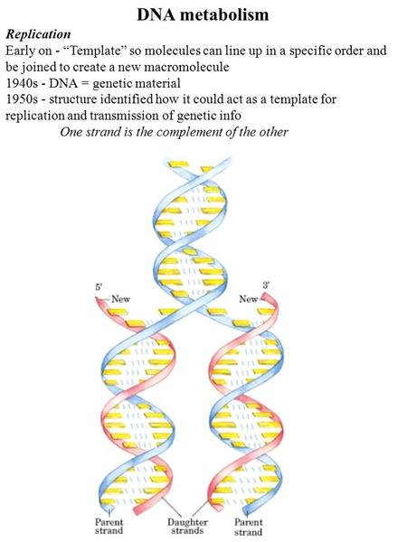 "DNA metabolism Replication Early on - ""Template"" so molecules can line up in a specific order and be joined to create a new macromolecule 1940s - DNA ="