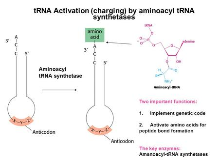 TRNA Activation (charging) by aminoacyl tRNA synthetases Aminoacyl tRNA synthetase Two important functions: 1.Implement genetic code 2.Activate amino acids.