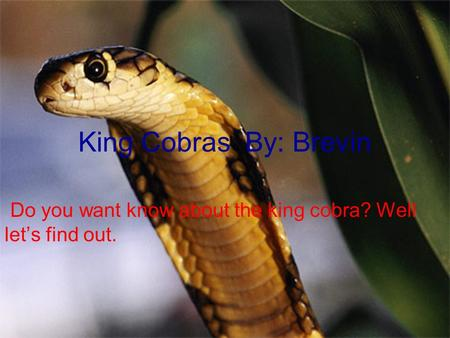 King Cobras By: Brevin Do you want know about the king cobra? Well let's find out.