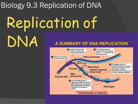 Biology 9.3 Replication of DNA Replication of DNA.