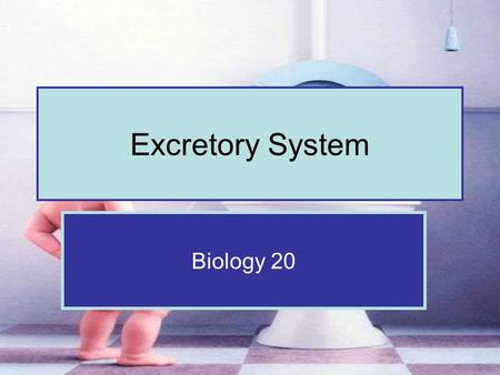 Excretory System Biology 20. Four Excretory Organs Excretion rids the body of metabolic wastes Kidneys are the primary excretory organ but other organs.