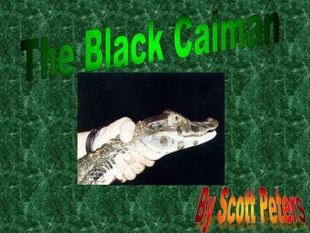 Diet Did you know Black Caimans can eat almost anything? Yup! It can! It can eat catfish, fish, birds, and other land dwelling animals. A Black Caimans.